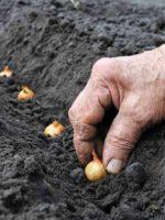 زراعة البصل اونلاين
